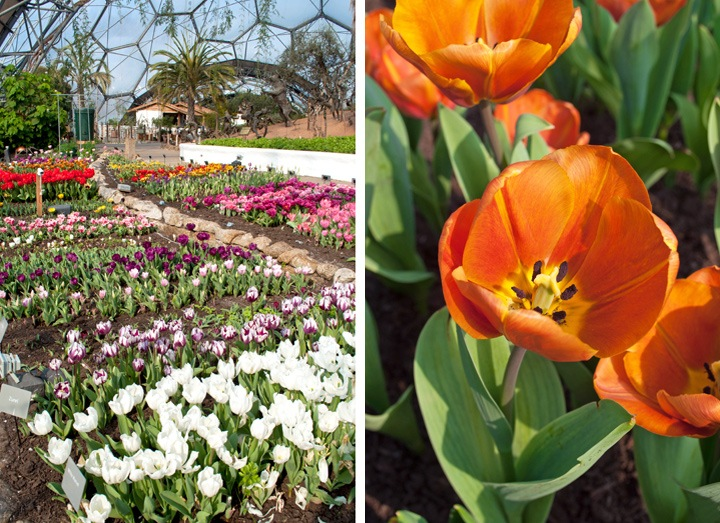 Tulips in the Mediterranean biome, Eden Project Cornwall