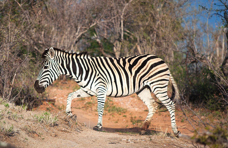 Zebra in South Africa