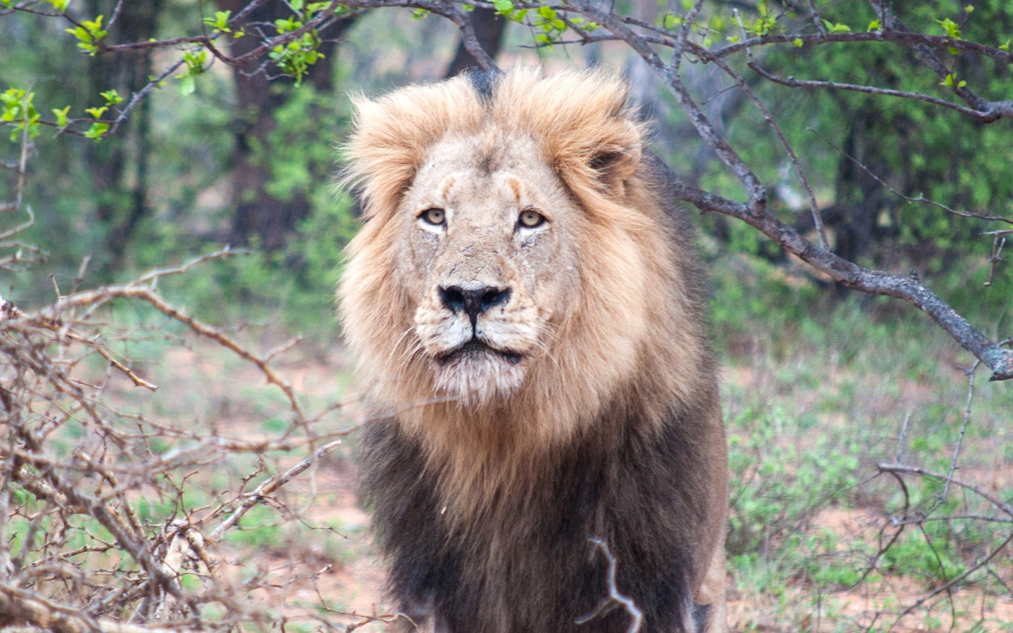 Male lion at Balule Game Reserve in South Africa's Kruger National Park
