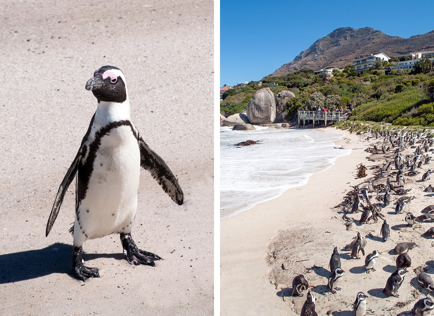Penguins on Boulders Beach, South Africa