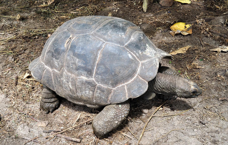 Giant Tortoise in the Seychelles