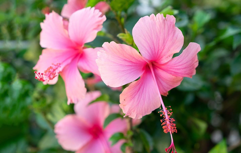 Tropical flowers at Cap Maison, Saint Lucia
