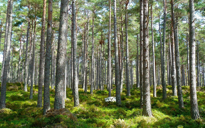 Green forest as a carbon offset scheme