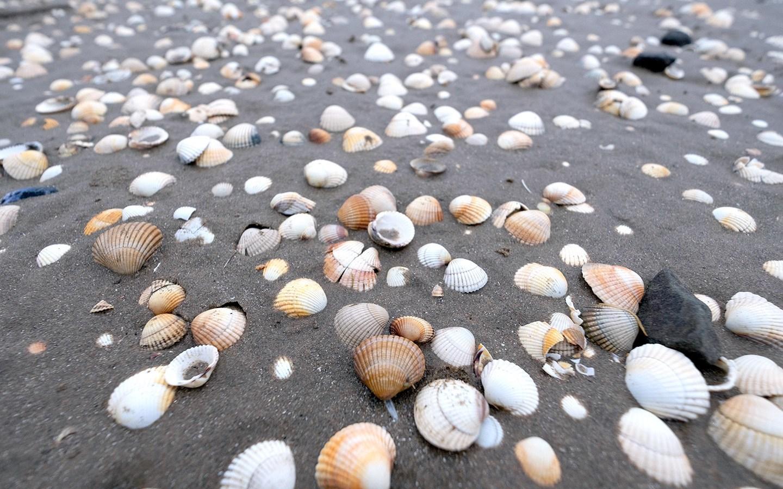Shells on the beach in Llansteffan in South Wales