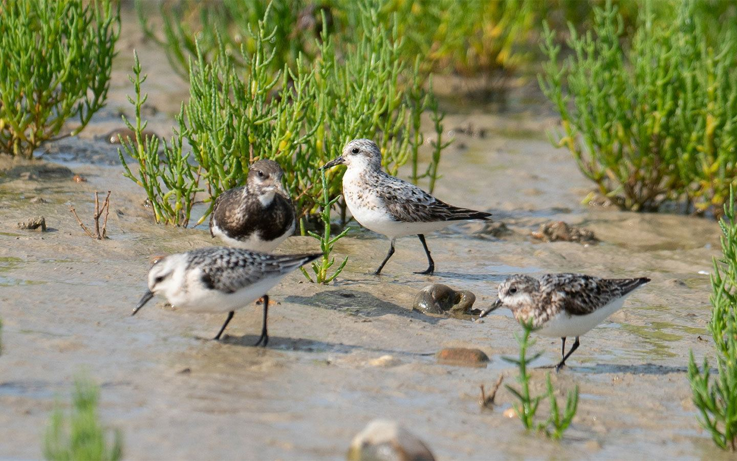 Grey plovers in Rye Harbor Nature Reserve
